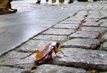 La città invasa dalle blatte: a Napoli in forte aumento le vendite di insetticida e zanzariere