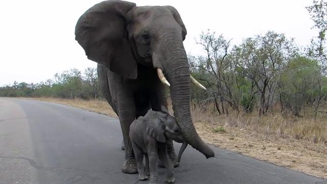 300593-thumb-full-mamma_elefante_protegge_piccolo