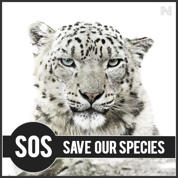 Leopardo delle nevi, specie a rischio