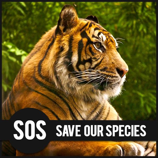 Tigre, specie a rischio