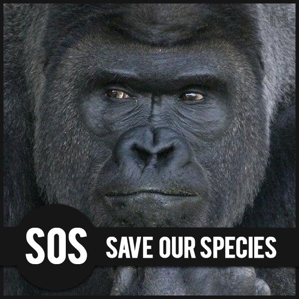 Gorilla, specie a rischio