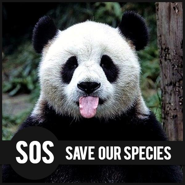 Panda, specie a rischio