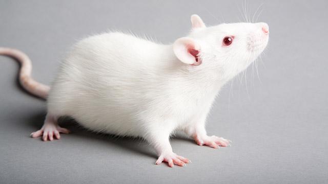 Realizzato topo geneticamente modificato che non sente il dolore