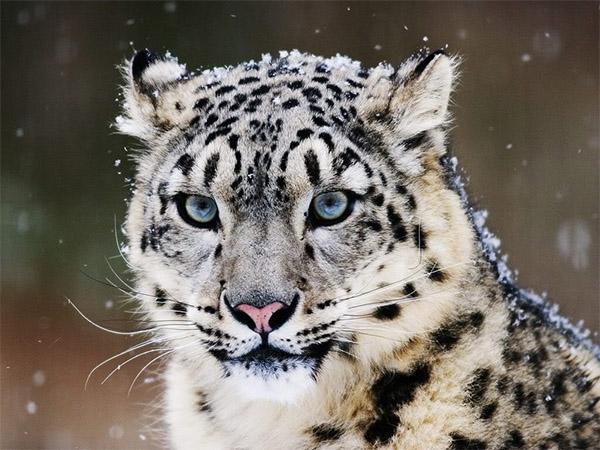 leopardo-delle-nevi