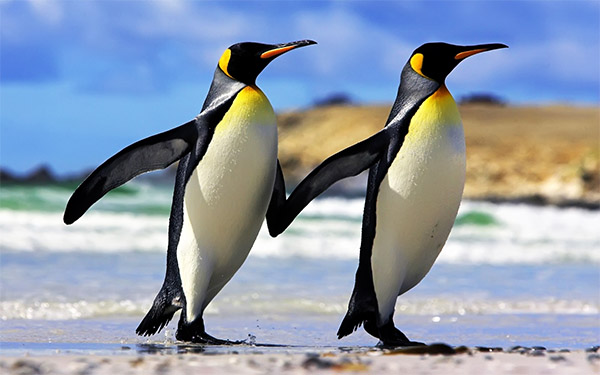 pinguino-imperatore