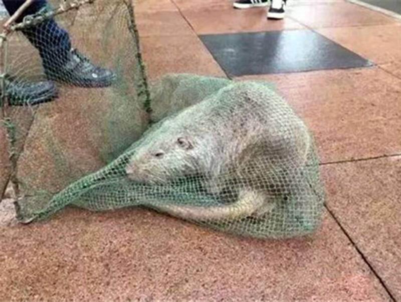Topo, ratto enorme in Cina