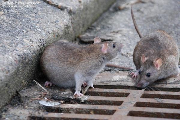 Messico, bimba divorata dai ratti, la mamma era ad una festa