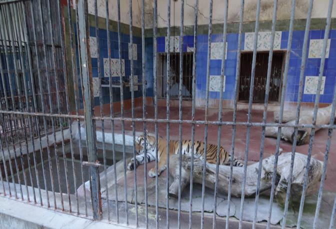 Zoo di Napoli, dopo anni in gabbia liberate le tigri in un giardino